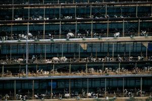 Elevage de bovins au Japon