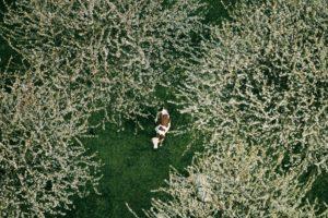 Une vache sous des cerisiers à Bessenay, Monts du Lyonnais, Rhône